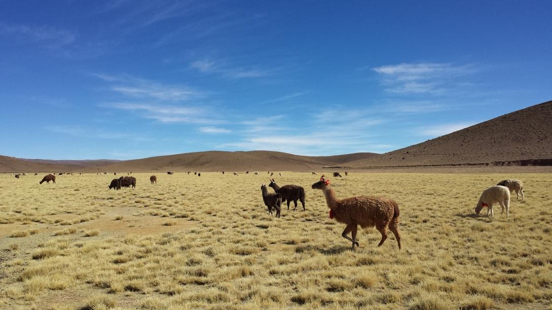 Lamas dans les hauts plateaux