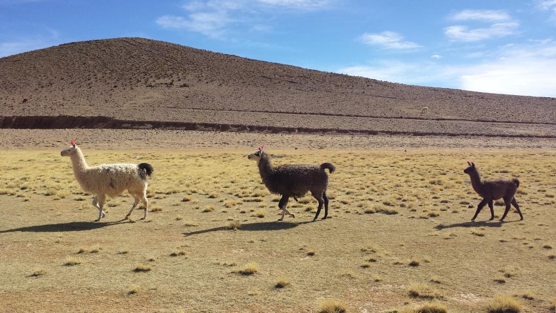 Lamas à la queue leu leu