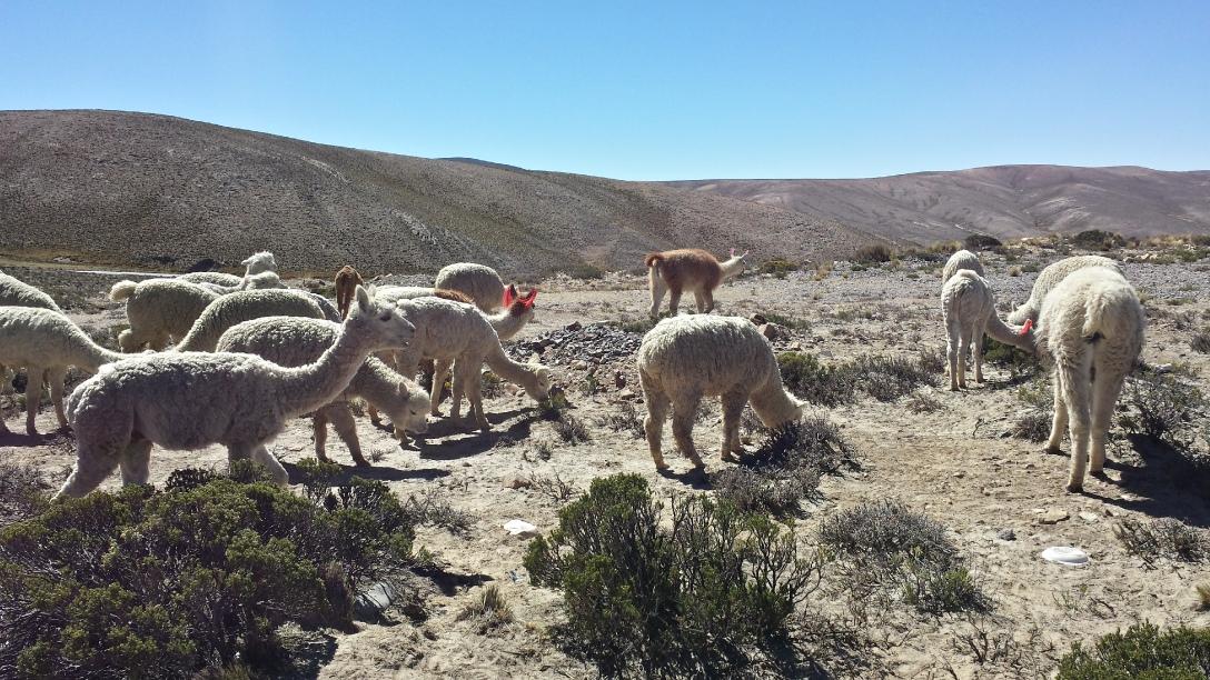 Lamas et alapacas Pérou