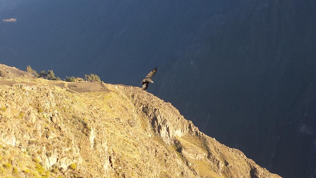 Condor Cruz del condor Colca