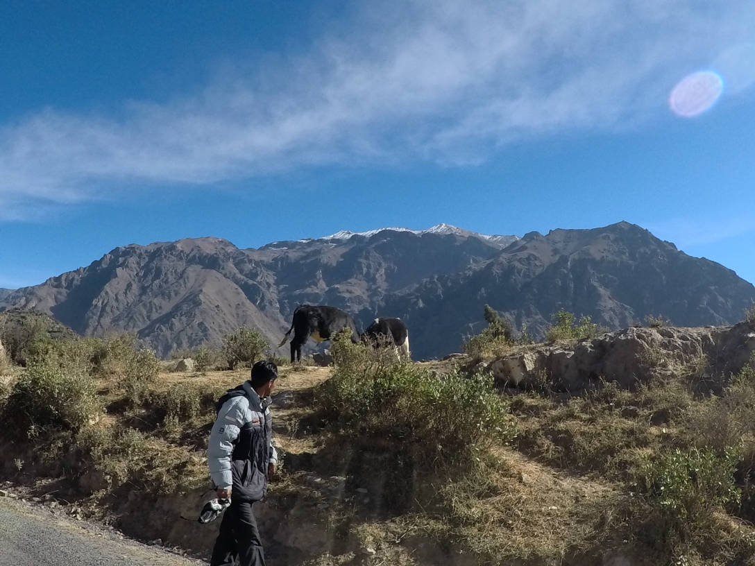 Combat de taureaux Pérou