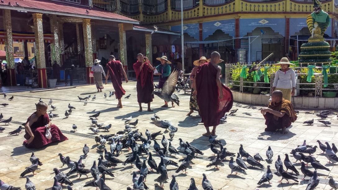 moines_birmanie_pigeons
