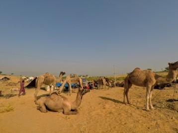 A la foire aux chameaux de Pushkar