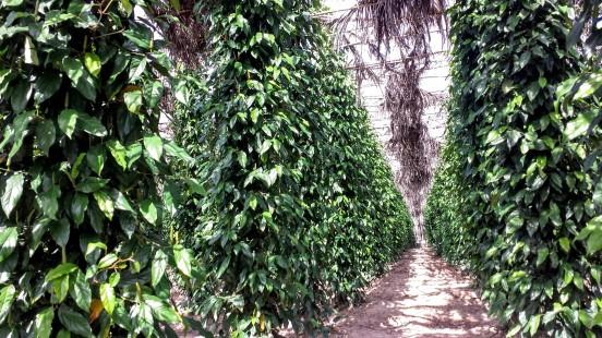 Les plantations de poivre !