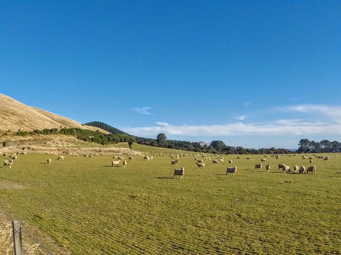moutons_nouvelle_zelande
