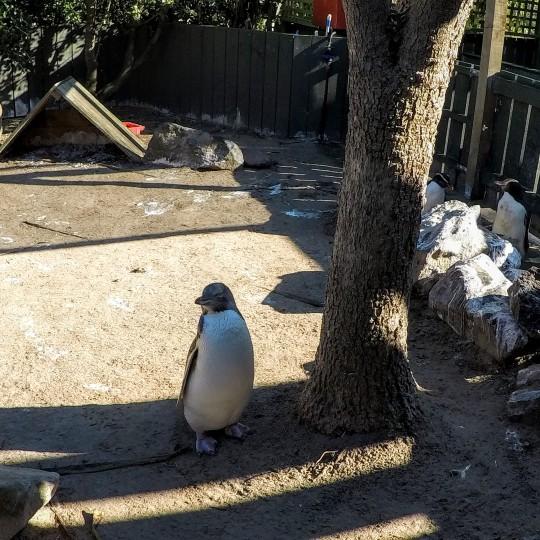 Papa Pingouin !