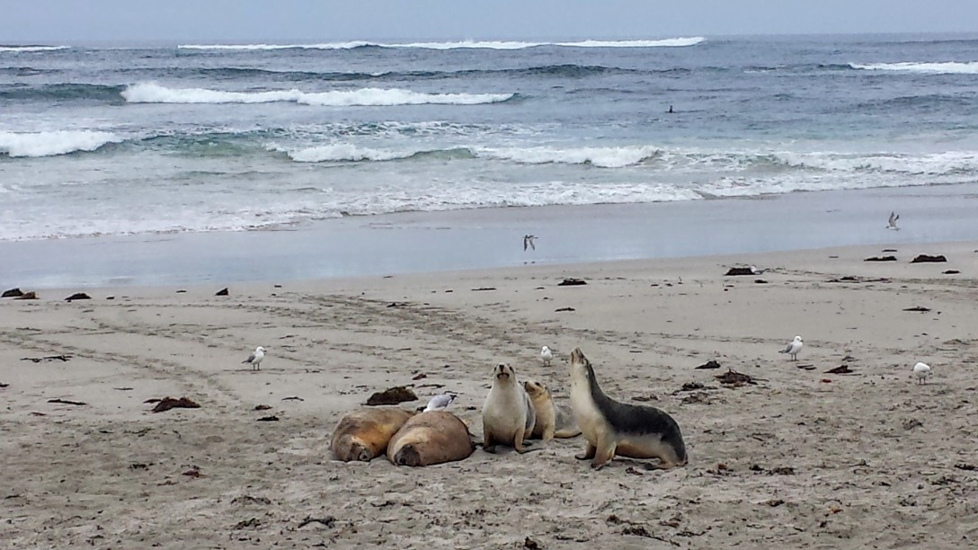 lions_de_mer_kangaroo_island