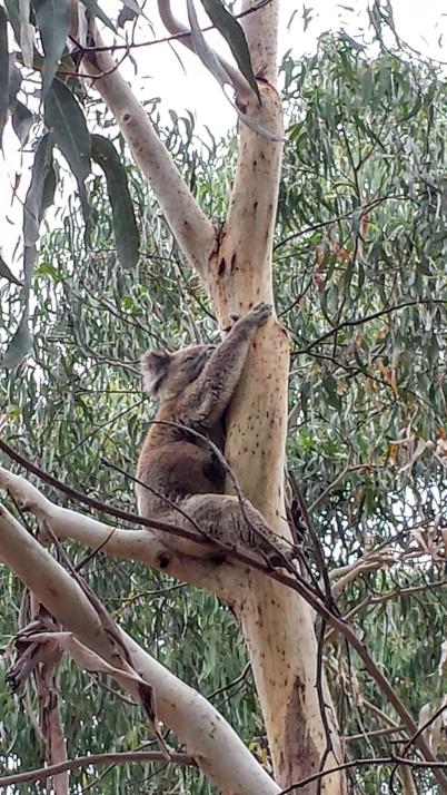koala_kangaroo_island_australie