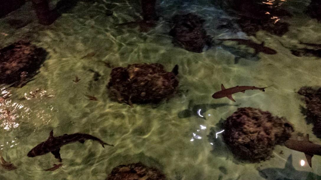 hilton_moorea_requins_creperie