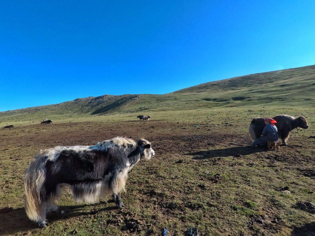 yak_mongolie_steppe